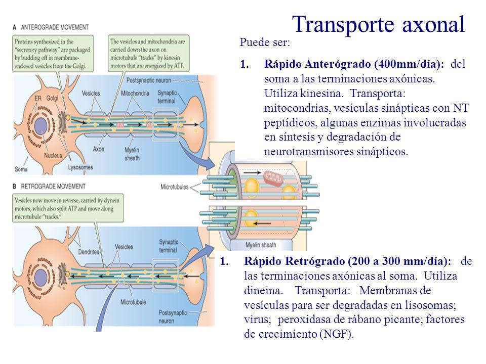 Transporte axonal Transporte axoplásmico Puede ser: