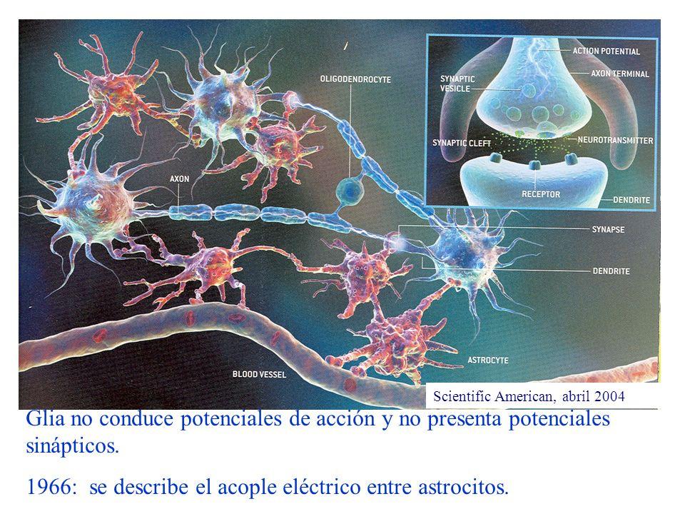 1966: se describe el acople eléctrico entre astrocitos.