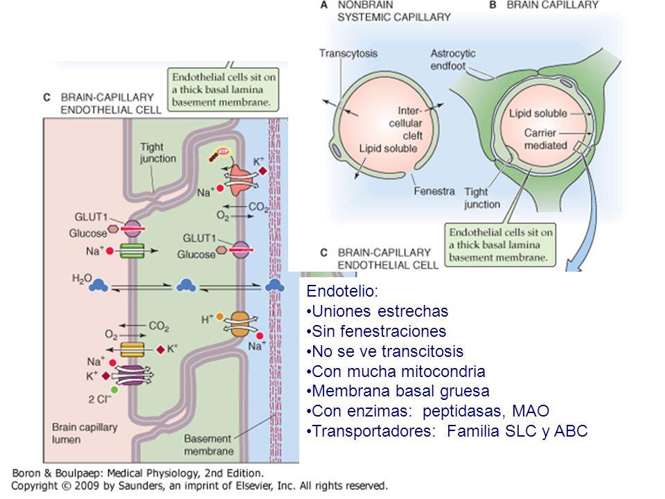 Endotelio: Uniones estrechas. Sin fenestraciones. No se ve transcitosis. Con mucha mitocondria. Membrana basal gruesa.