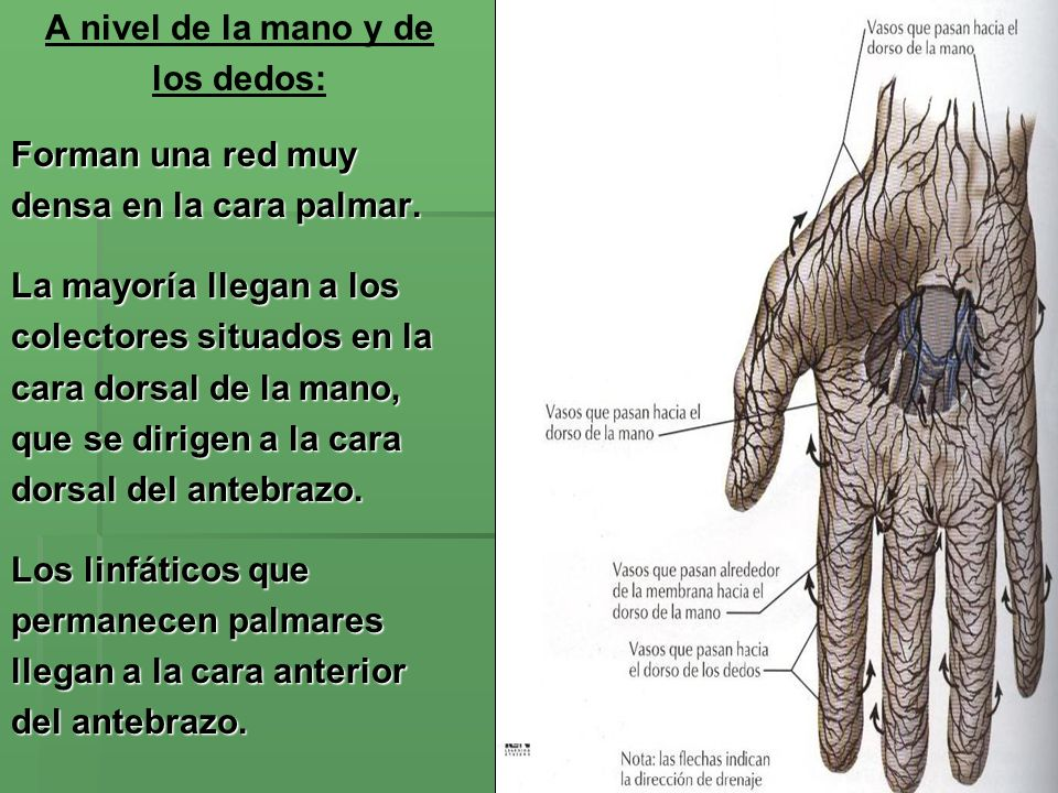 A nivel de la mano y de los dedos: Forman una red muy. densa en la cara palmar. La mayoría llegan a los.