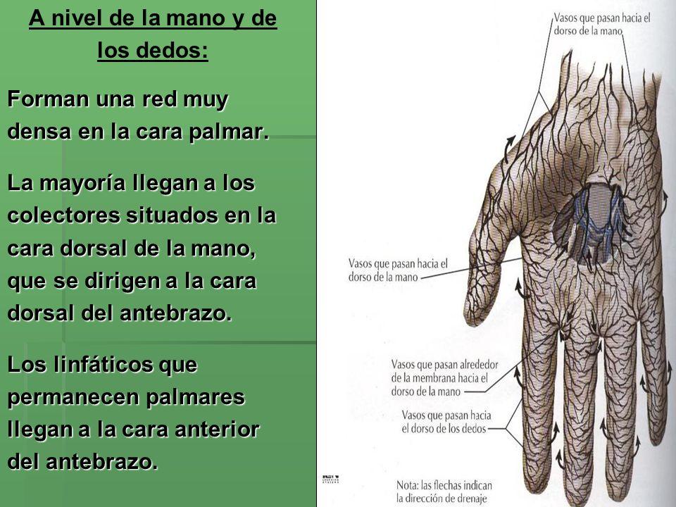 A nivel de la mano y delos dedos: Forman una red muy. densa en la cara palmar. La mayoría llegan a los.