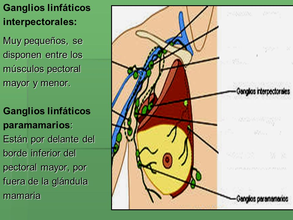 Ganglios linfáticos interpectorales: Muy pequeños, se. disponen entre los. músculos pectoral. mayor y menor.