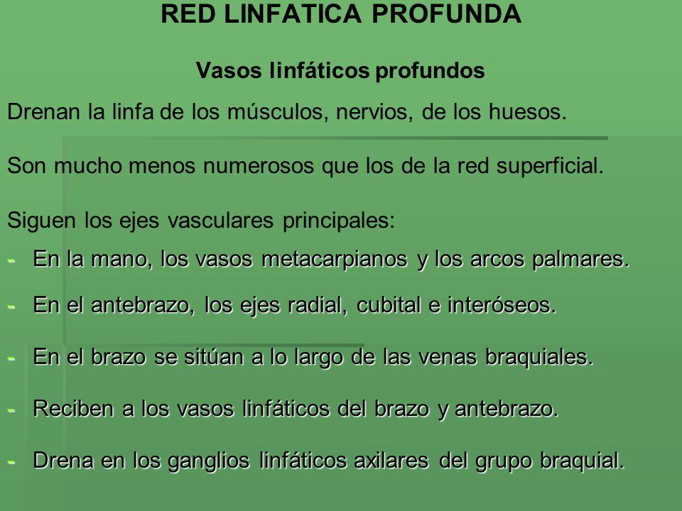 RED LINFATICA PROFUNDA Vasos linfáticos profundos
