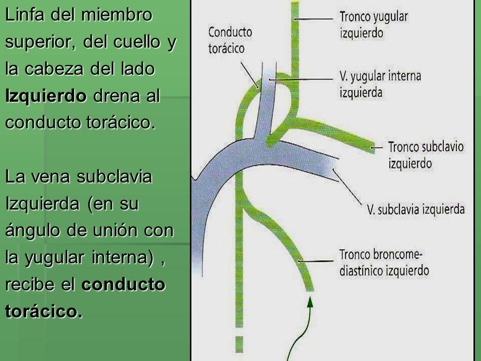 Linfa del miembro superior, del cuello y. la cabeza del lado. Izquierdo drena al. conducto torácico.