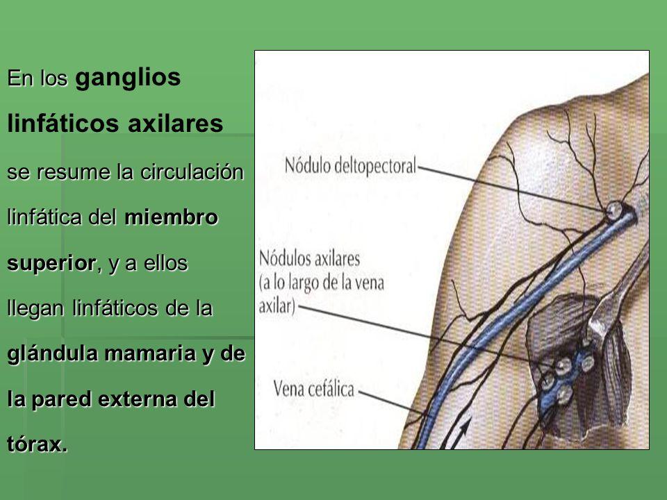 linfáticos axilares En los ganglios se resume la circulación