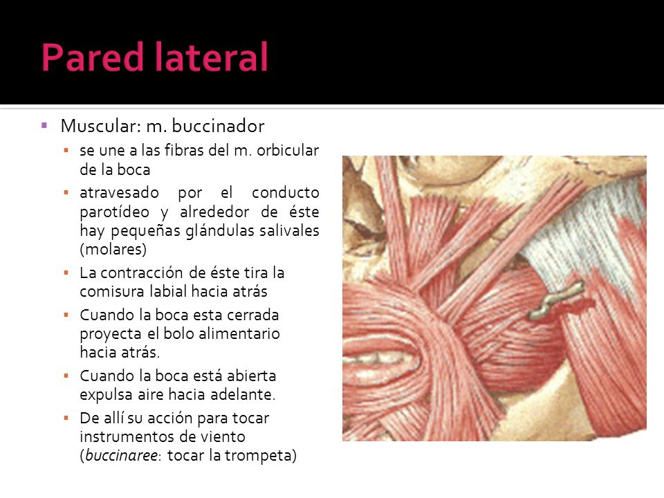 Pared lateral Muscular: m. buccinador