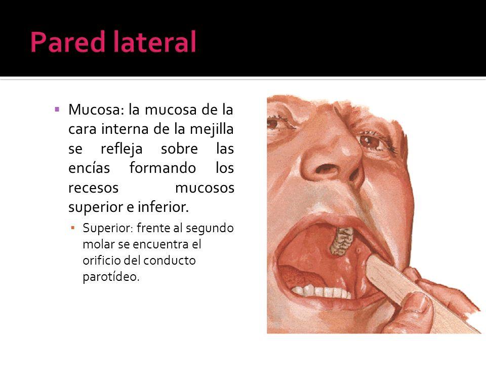 Pared lateralMucosa: la mucosa de la cara interna de la mejilla se refleja sobre las encías formando los recesos mucosos superior e inferior.