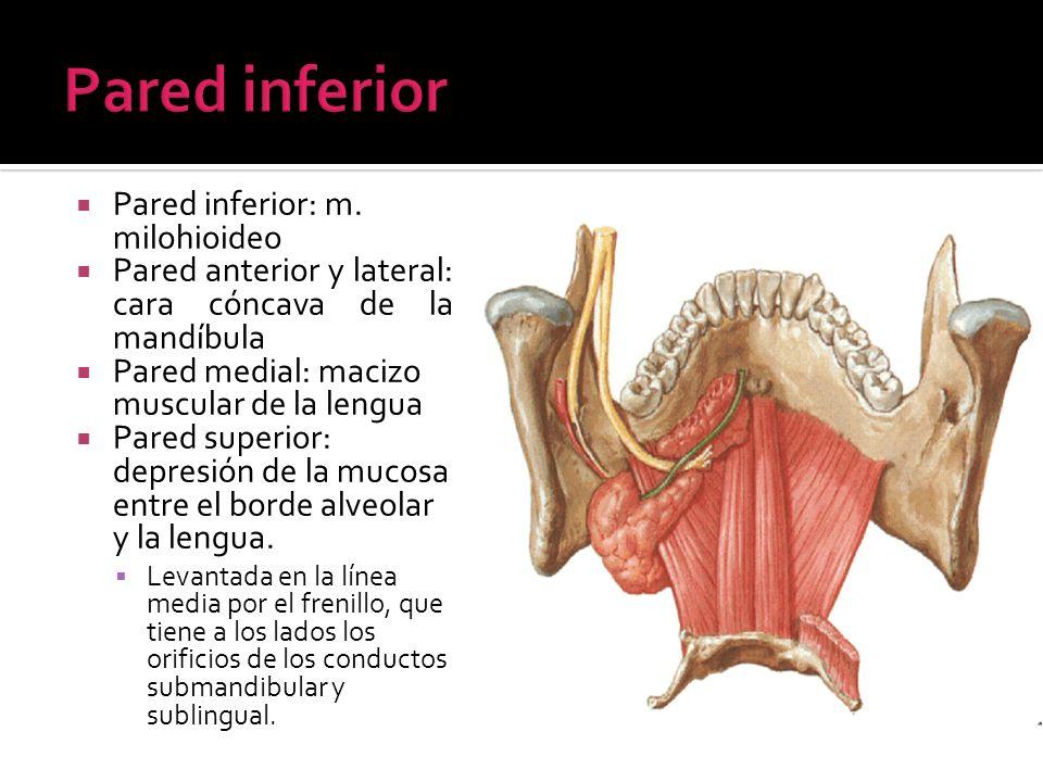 Pared inferior Pared inferior: m. milohioideo