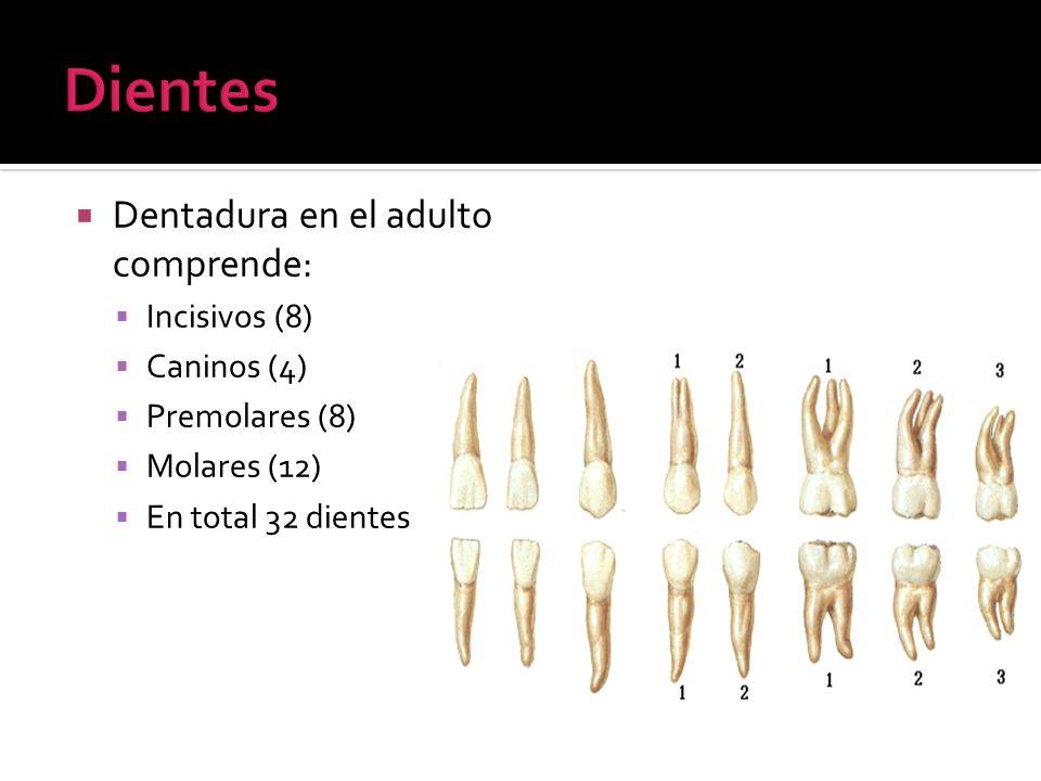 Dientes Dentadura en el adulto comprende: Incisivos (8) Caninos (4)