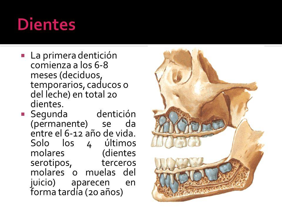 DientesLa primera dentición comienza a los 6-8 meses (deciduos, temporarios, caducos o del leche) en total 20 dientes.
