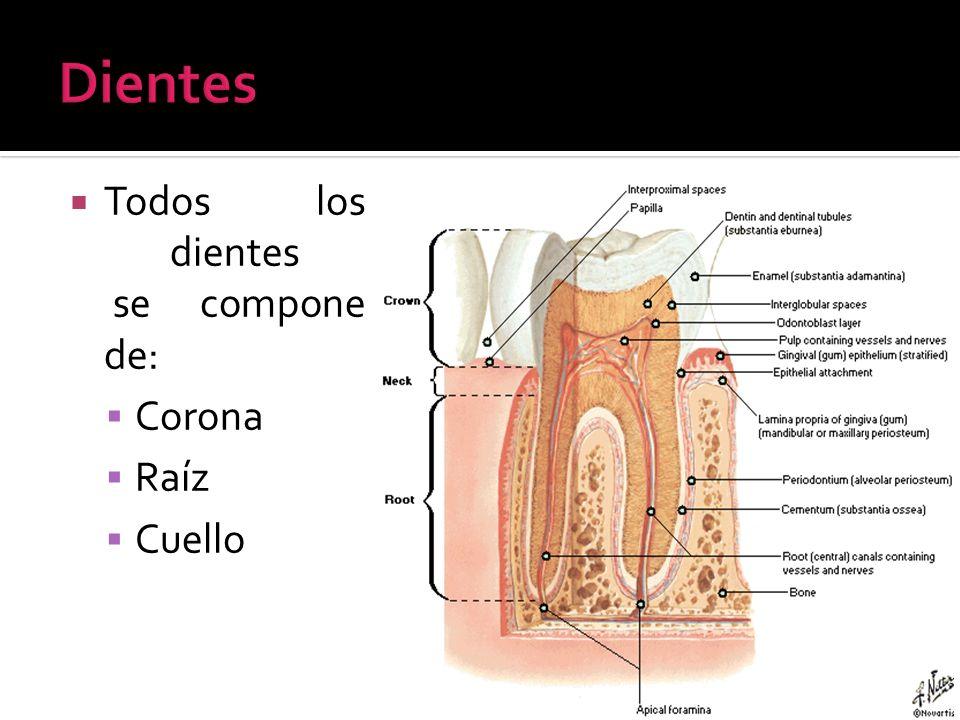 Dientes Todos los dientes se compone de: Corona Raíz Cuello