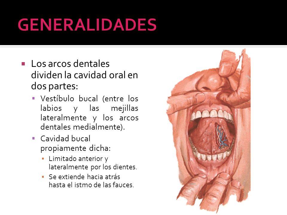 GENERALIDADES Los arcos dentales dividen la cavidad oral en dos partes: