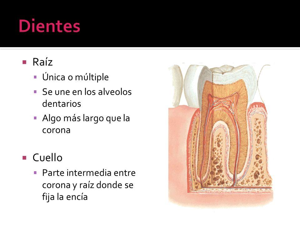 Dientes Raíz Cuello Única o múltiple Se une en los alveolos dentarios