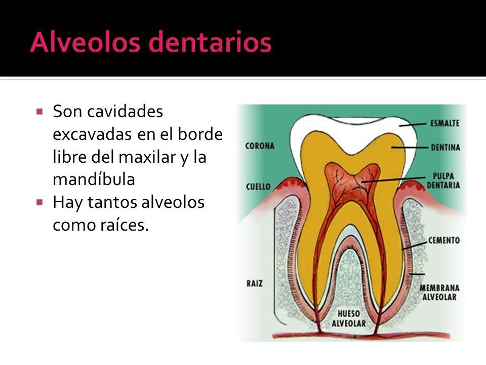 Alveolos dentarios Son cavidades excavadas en el borde libre del maxilar y la mandíbula.