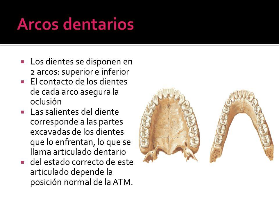 Arcos dentariosLos dientes se disponen en 2 arcos: superior e inferior. El contacto de los dientes de cada arco asegura la oclusión.