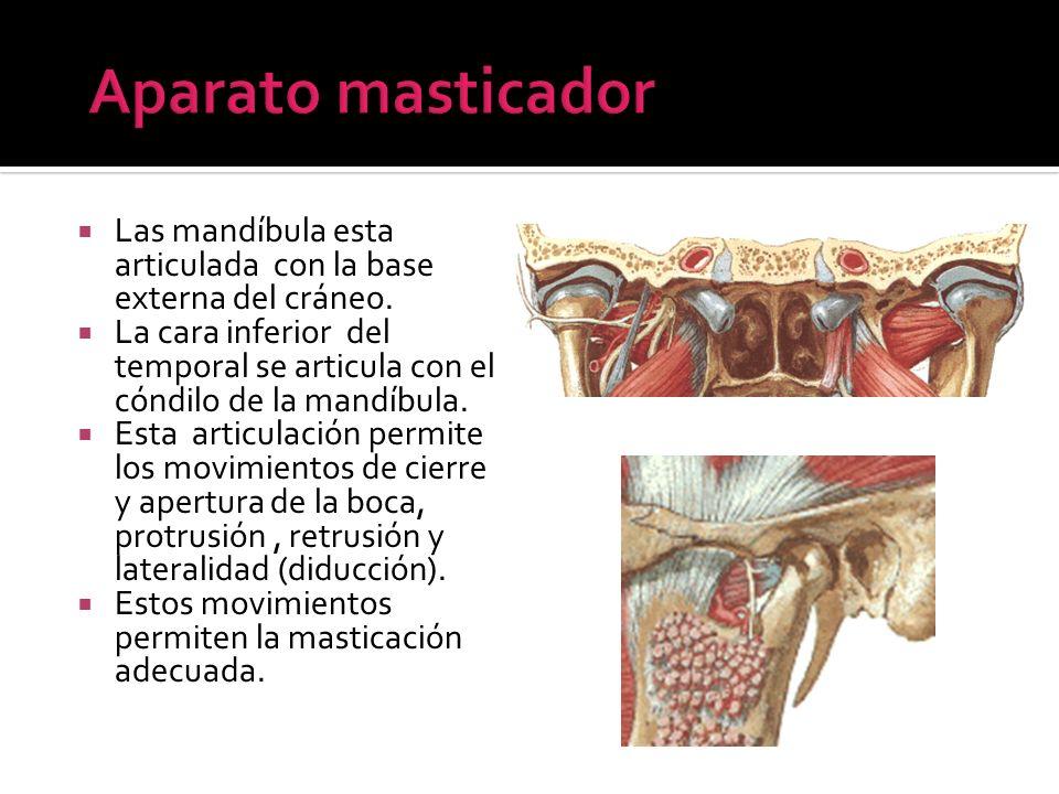 Aparato masticador Las mandíbula esta articulada con la base externa del cráneo.