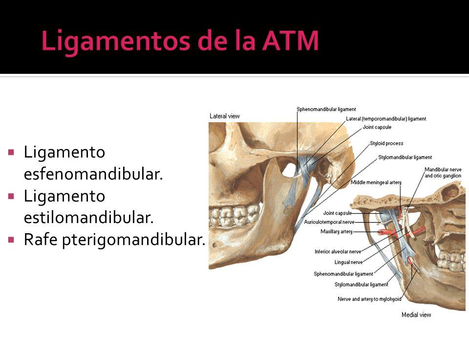 Ligamentos de la ATM Ligamento esfenomandibular.