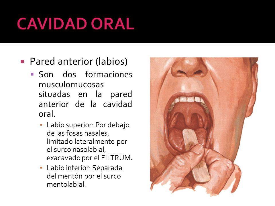 CAVIDAD ORAL Pared anterior (labios)