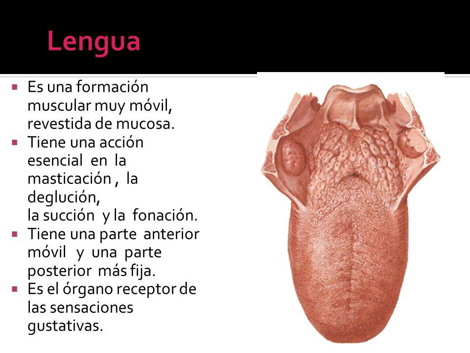 Lengua Es una formación muscular muy móvil, revestida de mucosa.