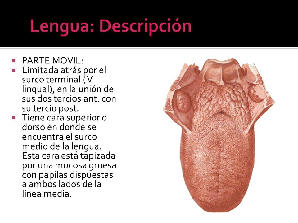 Lengua: Descripción PARTE MOVIL: