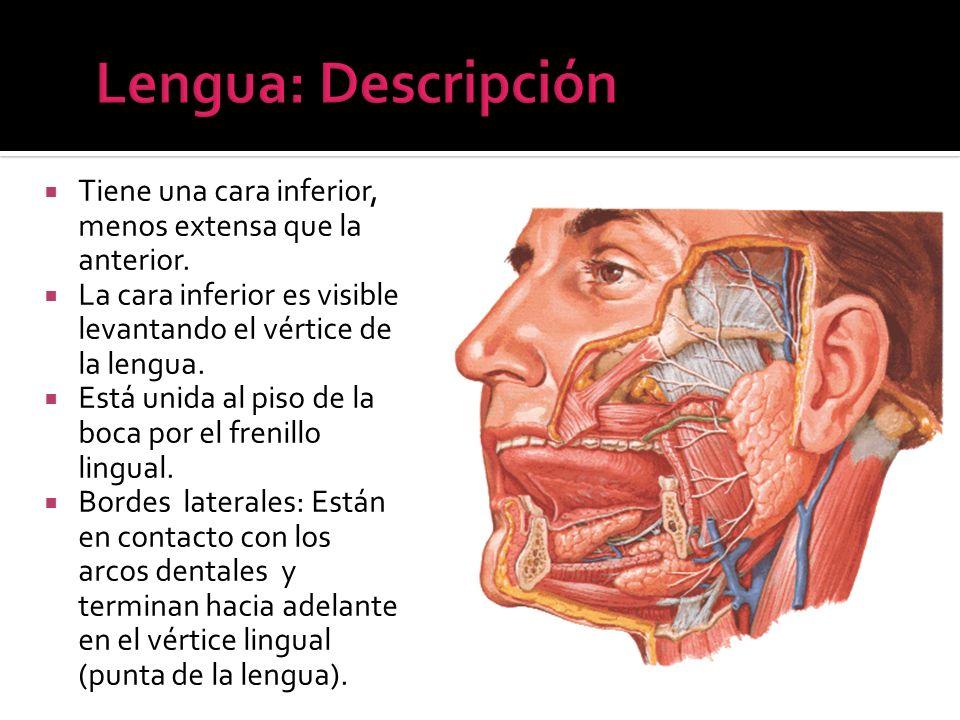 Lengua: DescripciónTiene una cara inferior, menos extensa que la anterior. La cara inferior es visible levantando el vértice de la lengua.
