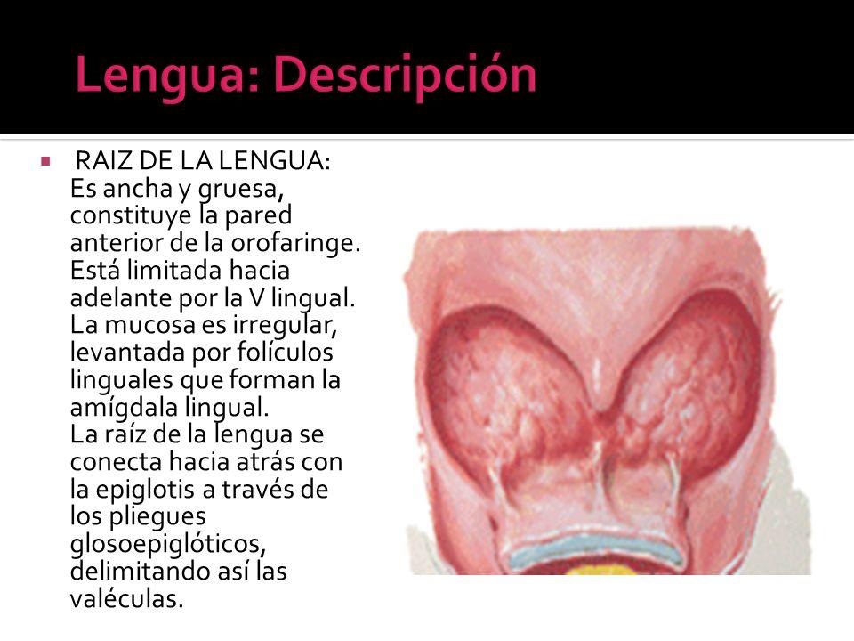 Lengua: Descripción