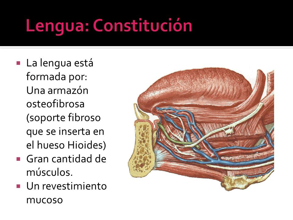 Lengua: Constitución La lengua está formada por: Una armazón osteofibrosa (soporte fibroso que se inserta en el hueso Hioides)
