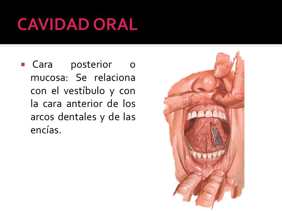 CAVIDAD ORAL Cara posterior o mucosa: Se relaciona con el vestíbulo y con la cara anterior de los arcos dentales y de las encías.