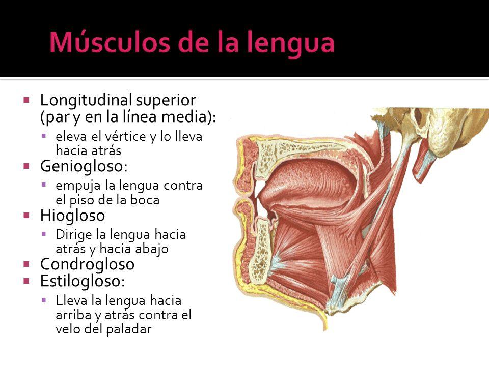 Músculos de la lengua Longitudinal superior (par y en la línea media):