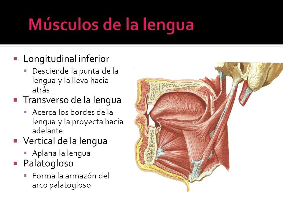Músculos de la lengua Longitudinal inferior Transverso de la lengua