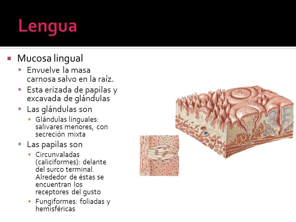 Lengua Mucosa lingual Envuelve la masa carnosa salvo en la raíz.
