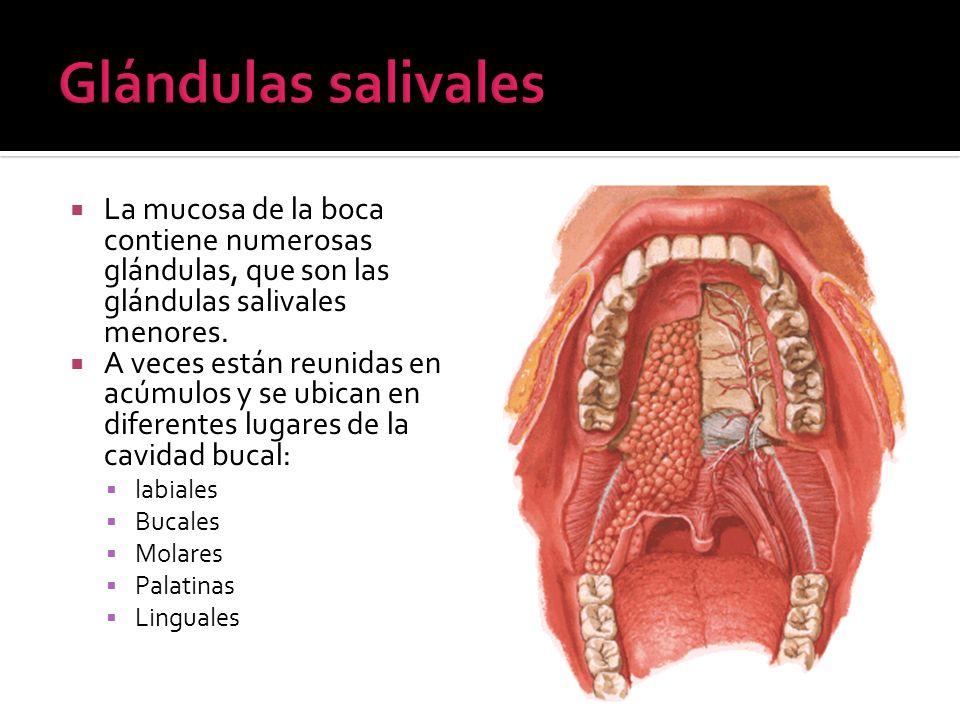 Glándulas salivales La mucosa de la boca contiene numerosas glándulas, que son las glándulas salivales menores.