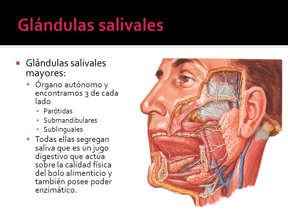 Glándulas salivales Glándulas salivales mayores:
