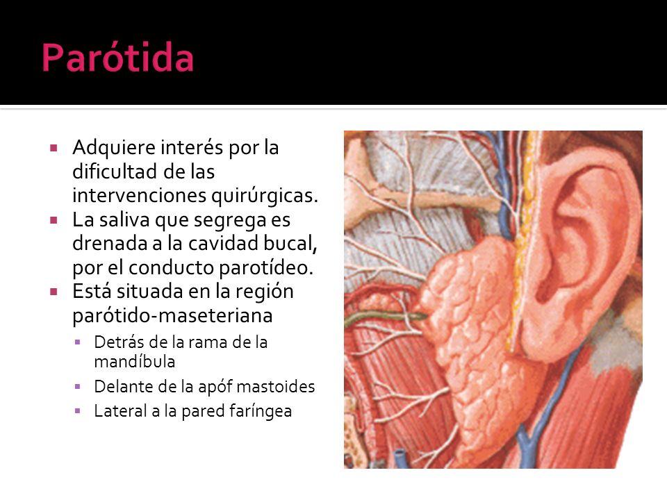 Parótida Adquiere interés por la dificultad de las intervenciones quirúrgicas.