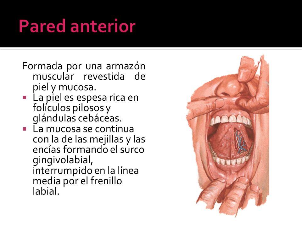 Pared anteriorFormada por una armazón muscular revestida de piel y mucosa. La piel es espesa rica en folículos pilosos y glándulas cebáceas.
