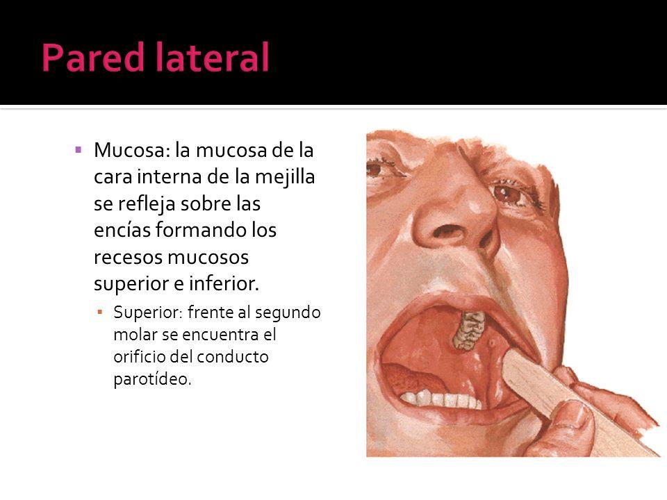 Pared lateral Mucosa: la mucosa de la cara interna de la mejilla se refleja sobre las encías formando los recesos mucosos superior e inferior.