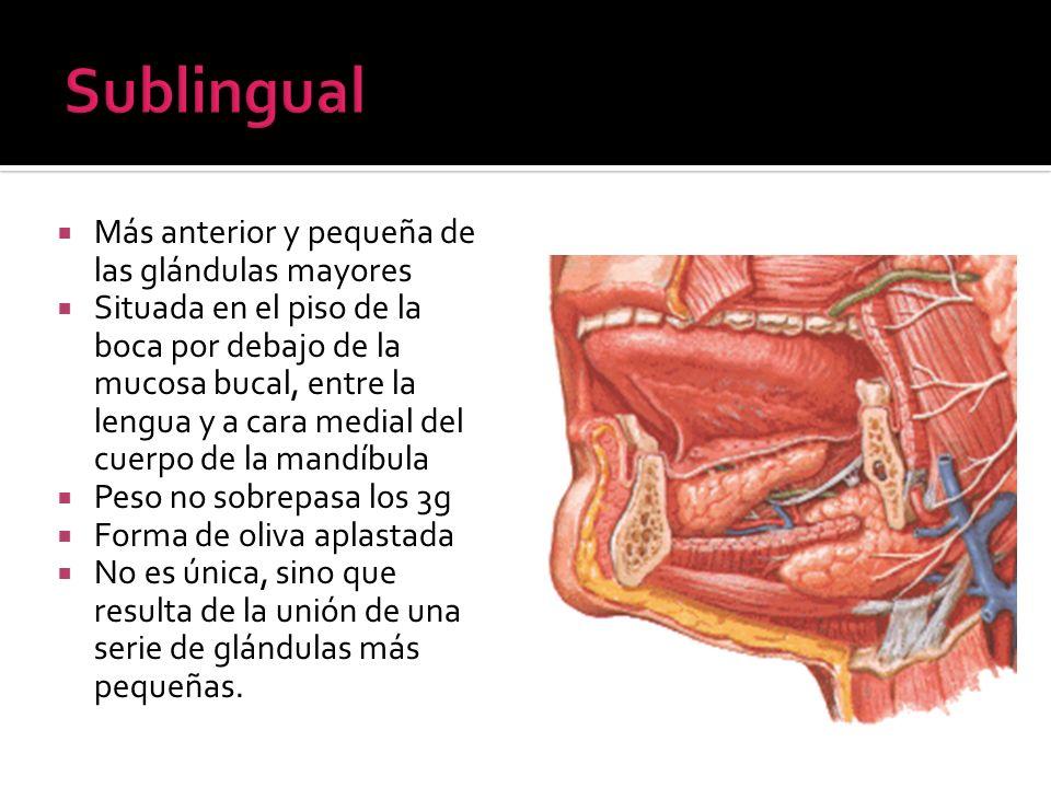 Sublingual Más anterior y pequeña de las glándulas mayores