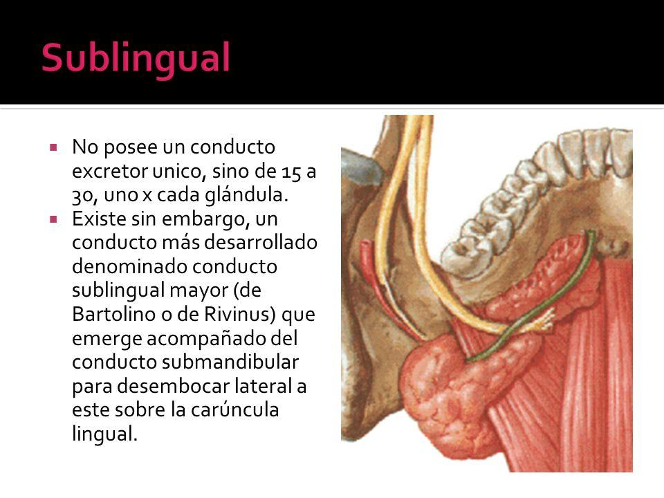 SublingualNo posee un conducto excretor unico, sino de 15 a 30, uno x cada glándula.