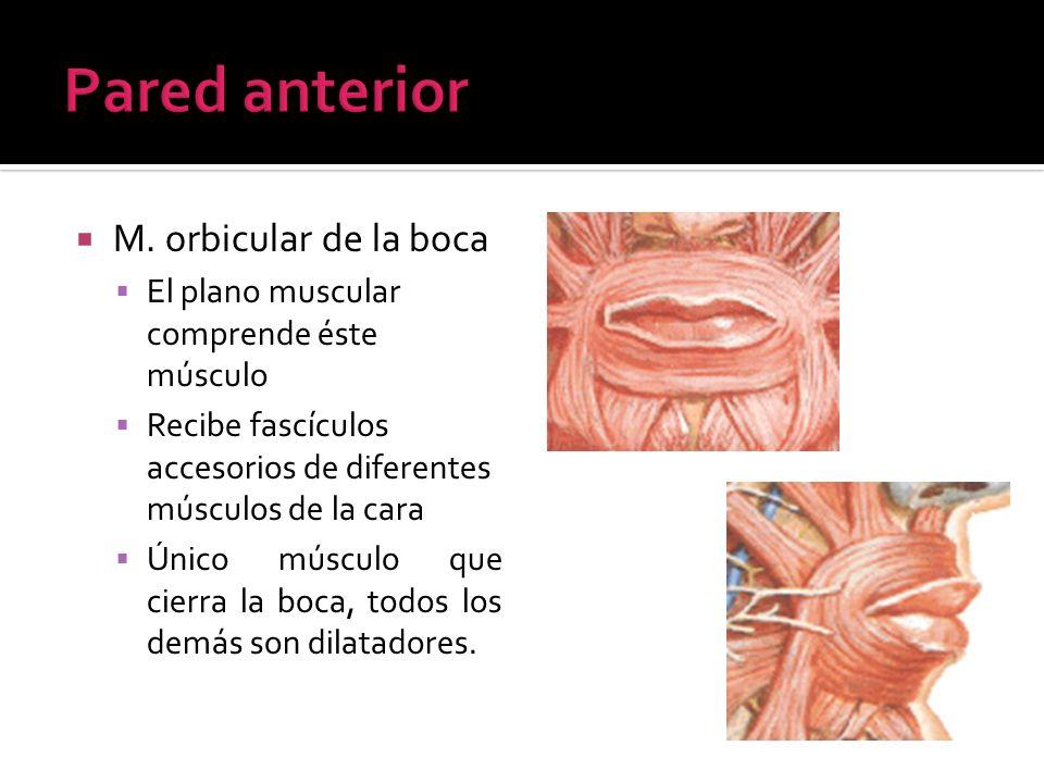 Pared anterior M. orbicular de la boca