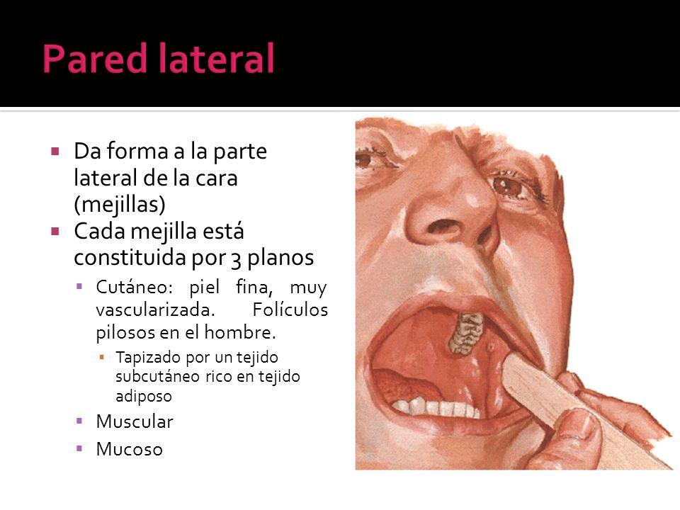 Pared lateral Da forma a la parte lateral de la cara (mejillas)