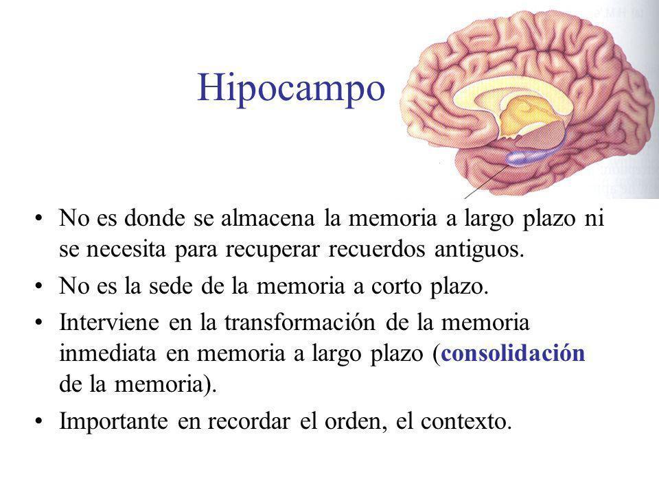 Hipocampo No es donde se almacena la memoria a largo plazo ni se necesita para recuperar recuerdos antiguos.