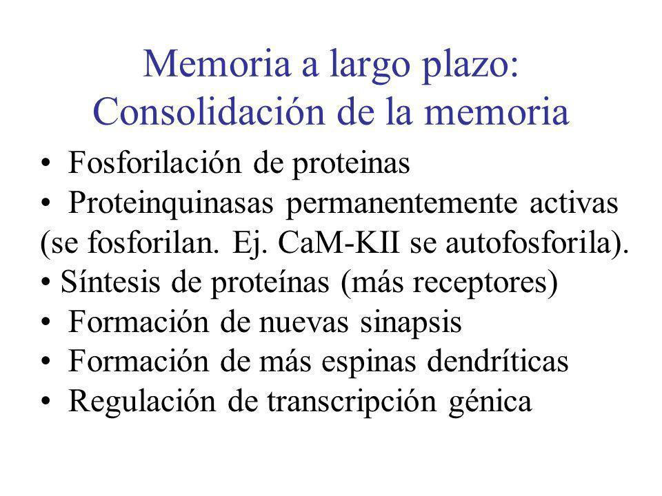 Memoria a largo plazo: Consolidación de la memoria