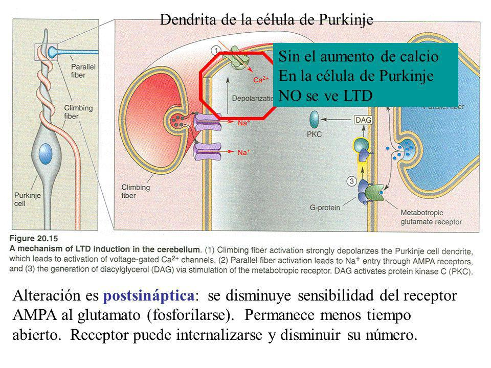 Dendrita de la célula de Purkinje