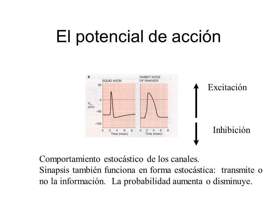 El potencial de acción Excitación Inhibición