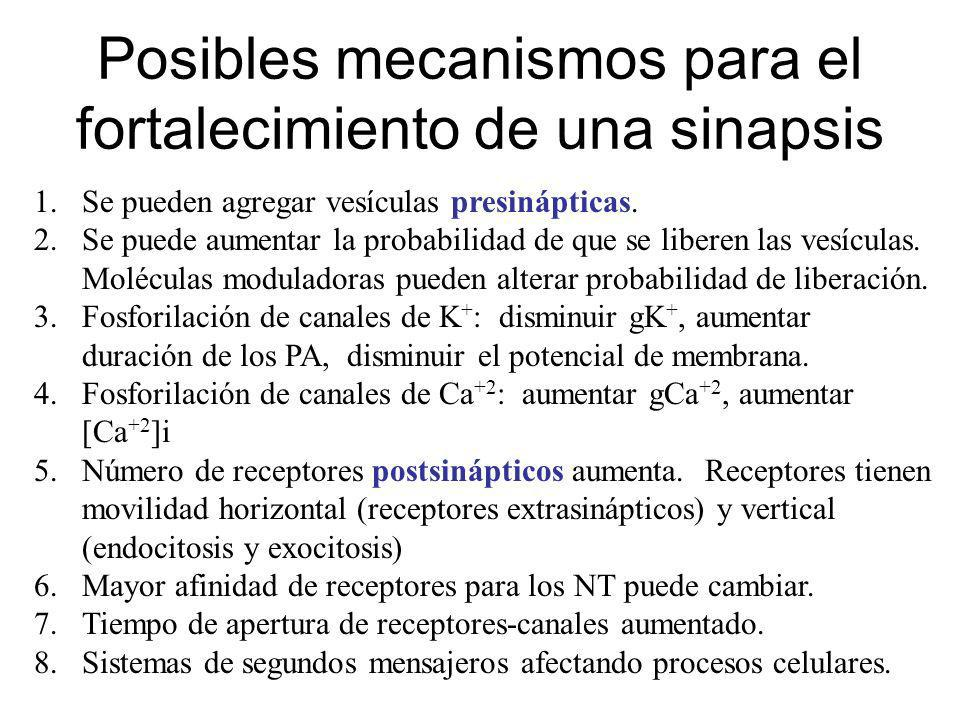 Posibles mecanismos para el fortalecimiento de una sinapsis