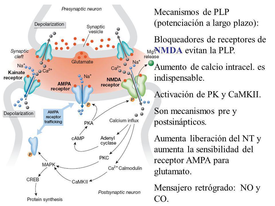 Mecanismos de PLP (potenciación a largo plazo):