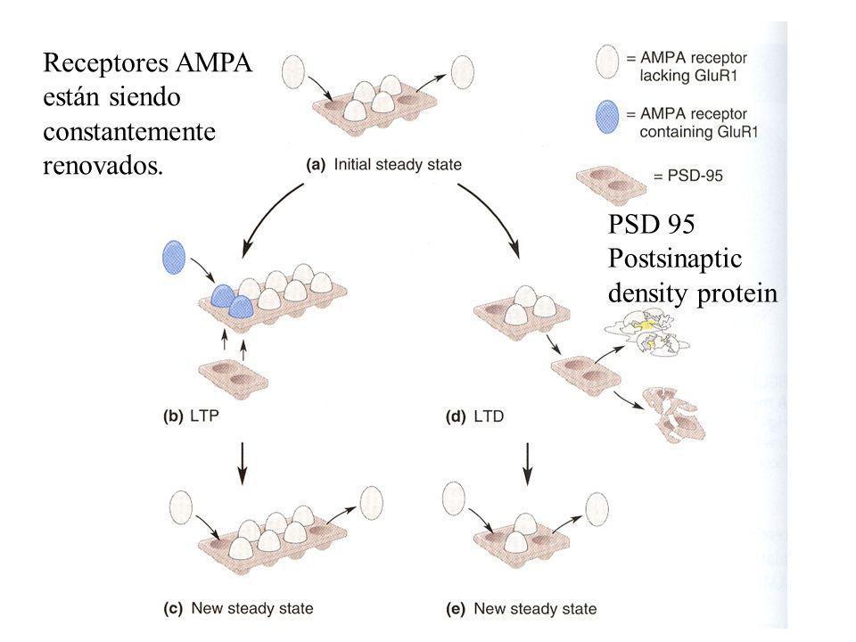 Receptores AMPA están siendo constantemente renovados.