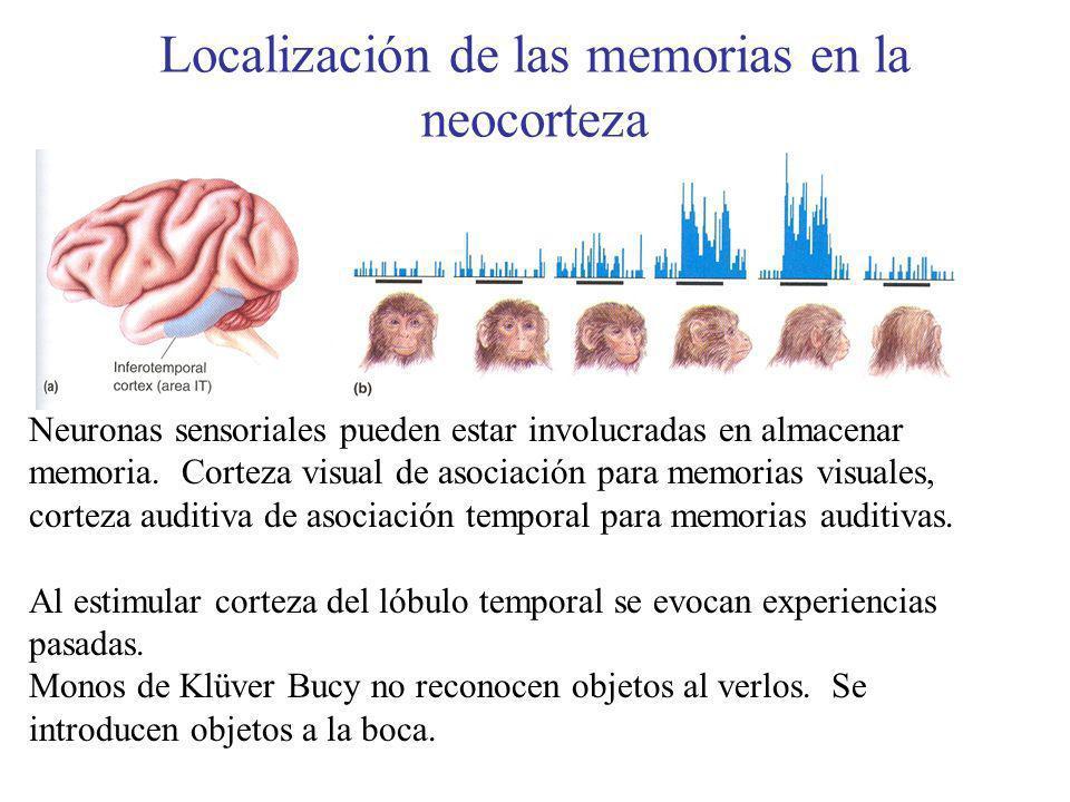 Localización de las memorias en la neocorteza