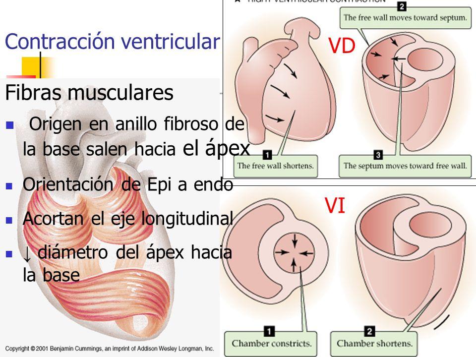 Contracción ventricular