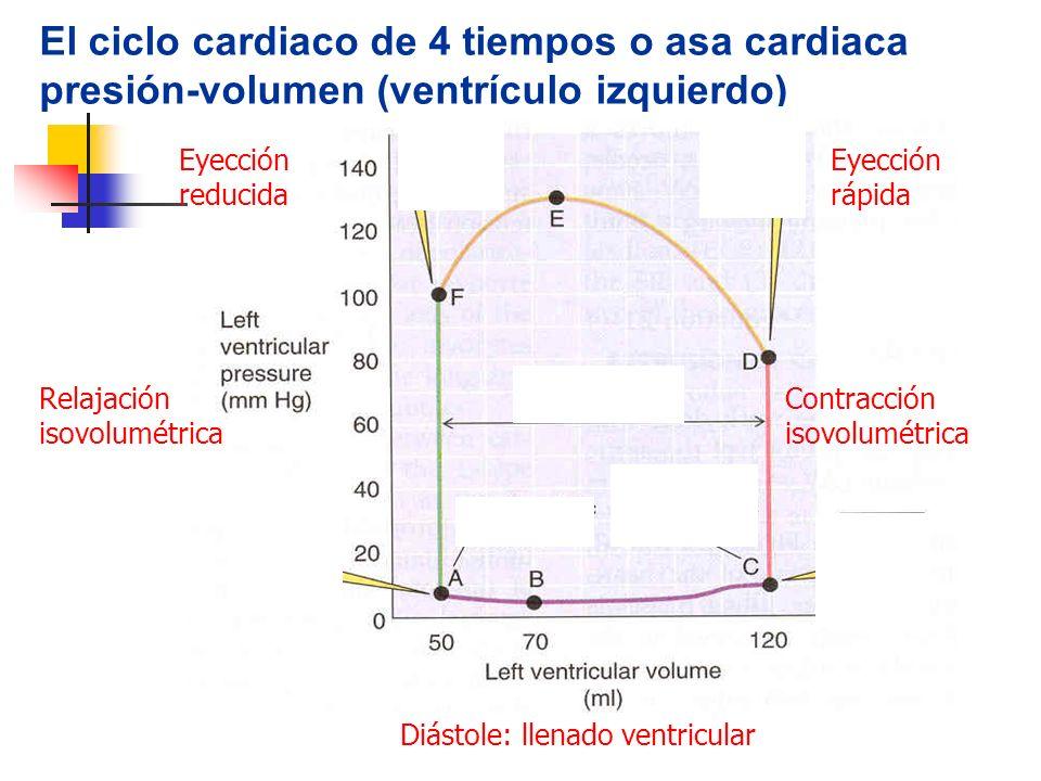 El ciclo cardiaco de 4 tiempos o asa cardiaca presión-volumen (ventrículo izquierdo)